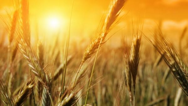 nature-fields-summer-wheat-sunlight-1920x1080-wallpaper_wallpaperswa.com_17-2